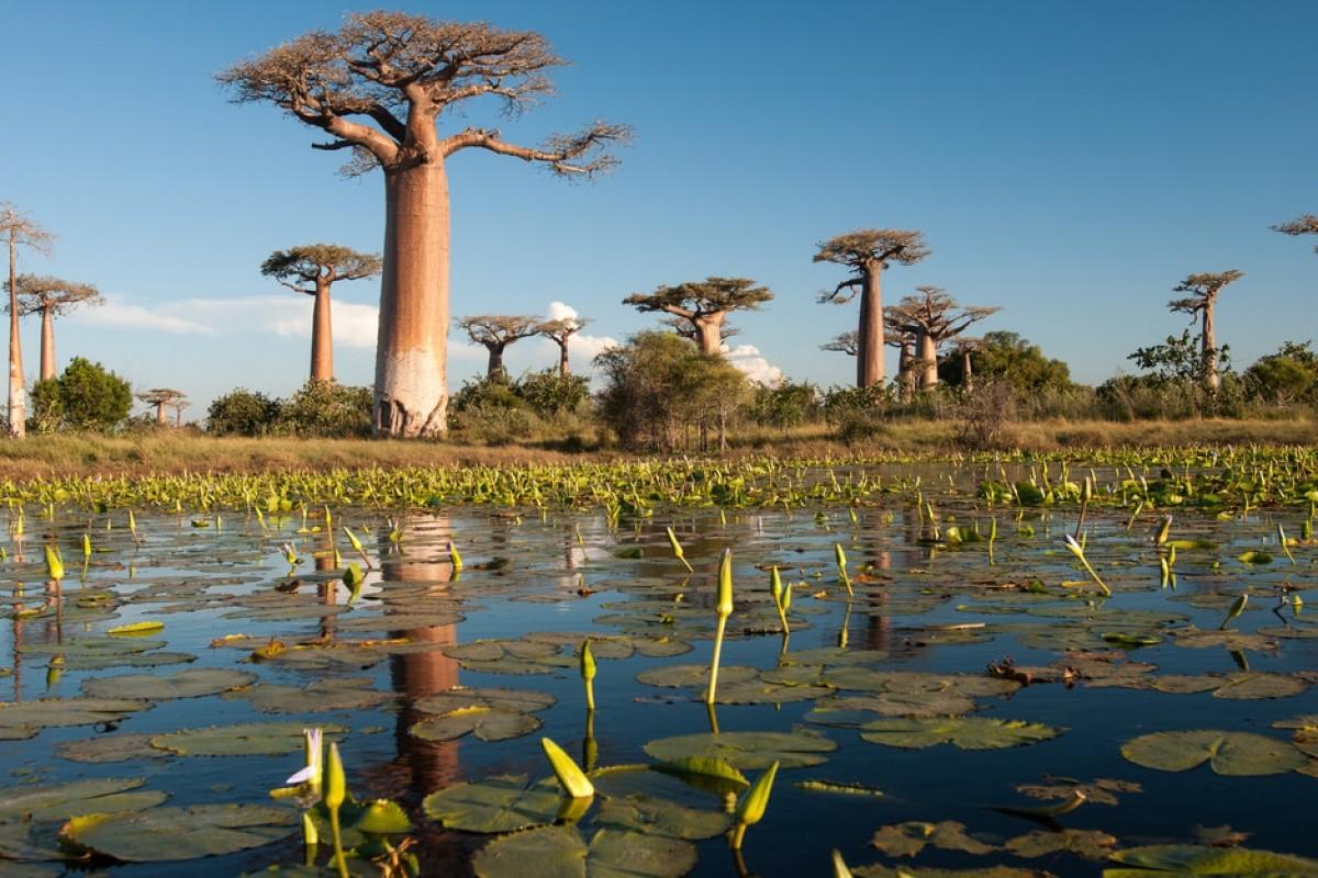 Баобаб на Мадагаскаре